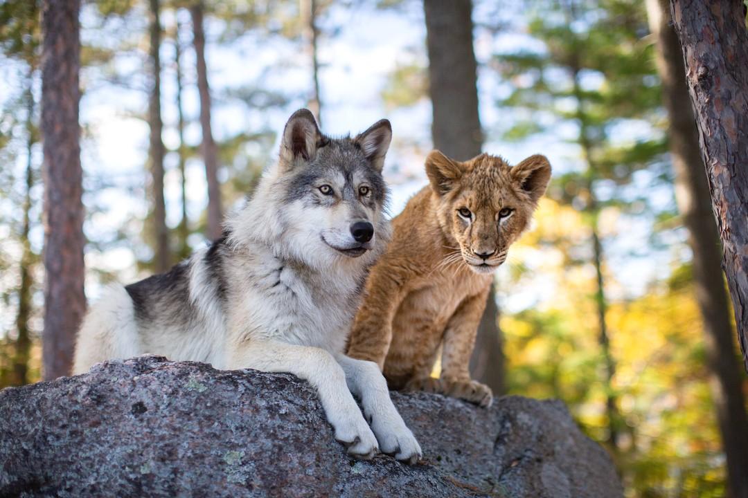 Bild zu Der Wolf und der Löwe